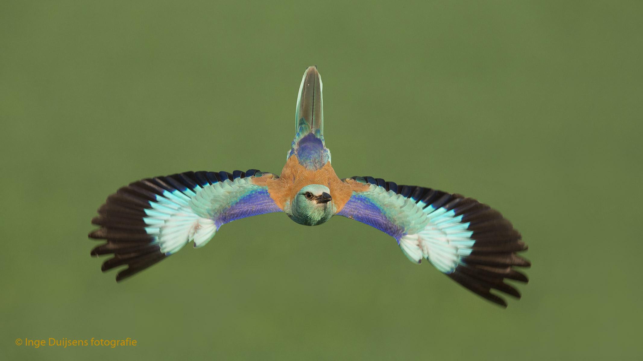 Scharrelaar vliegend in Hongarije