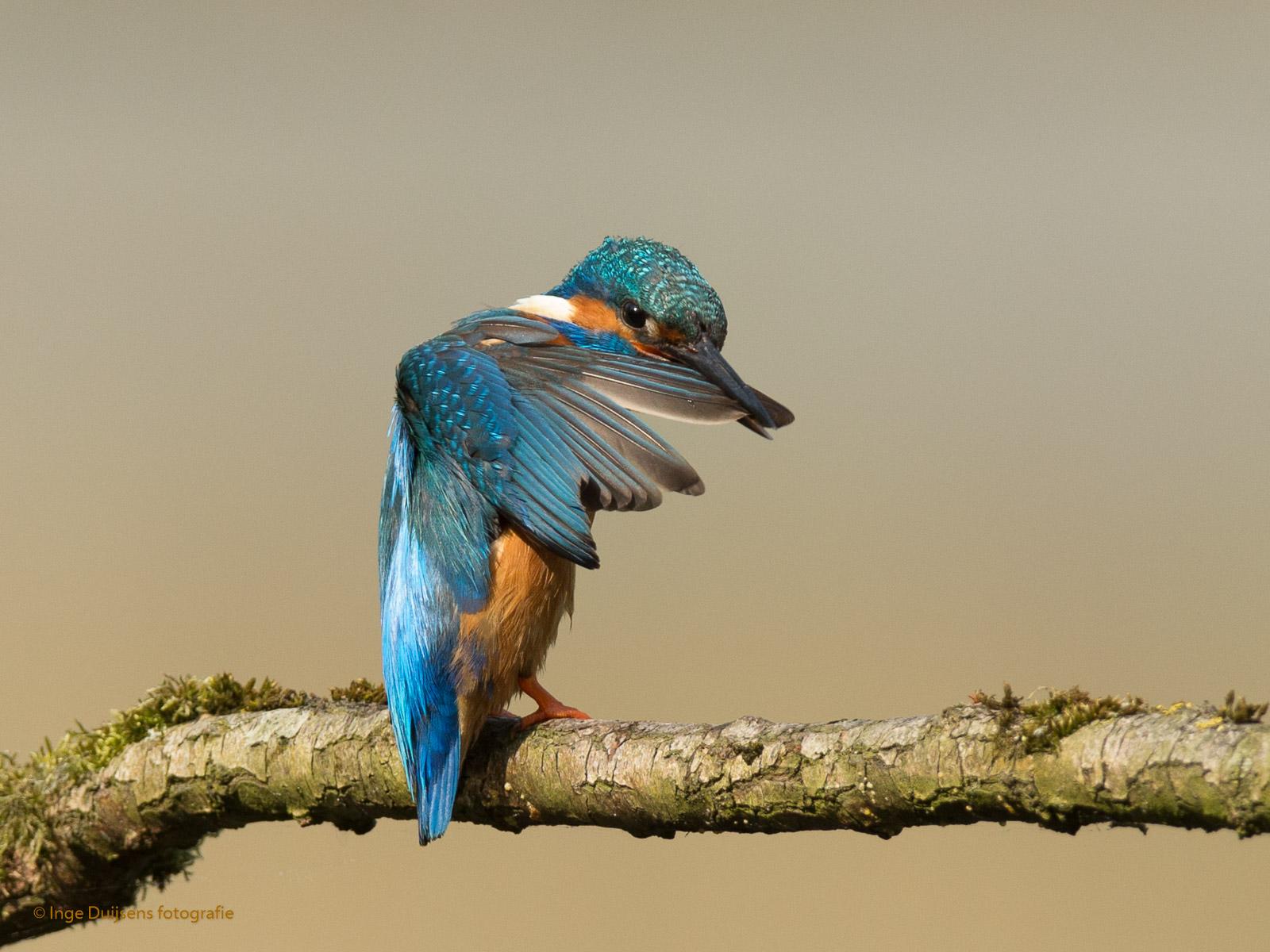 Poetsende IJsvogel