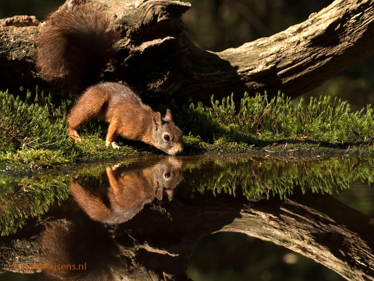 Zomeropname Eekhoorn