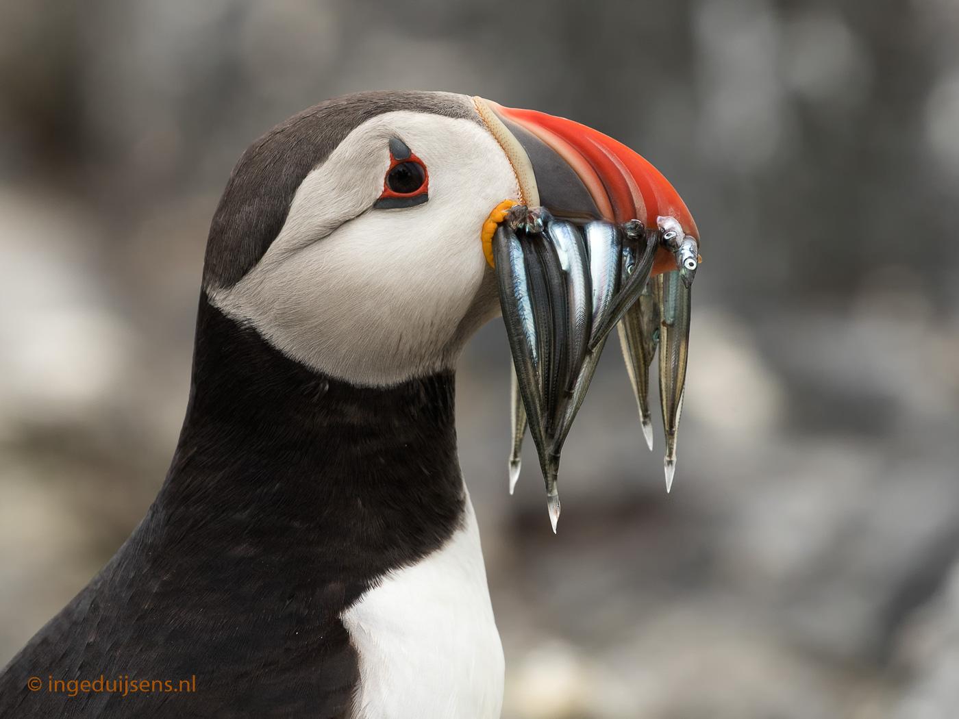 Papegaaiduiker met visjes