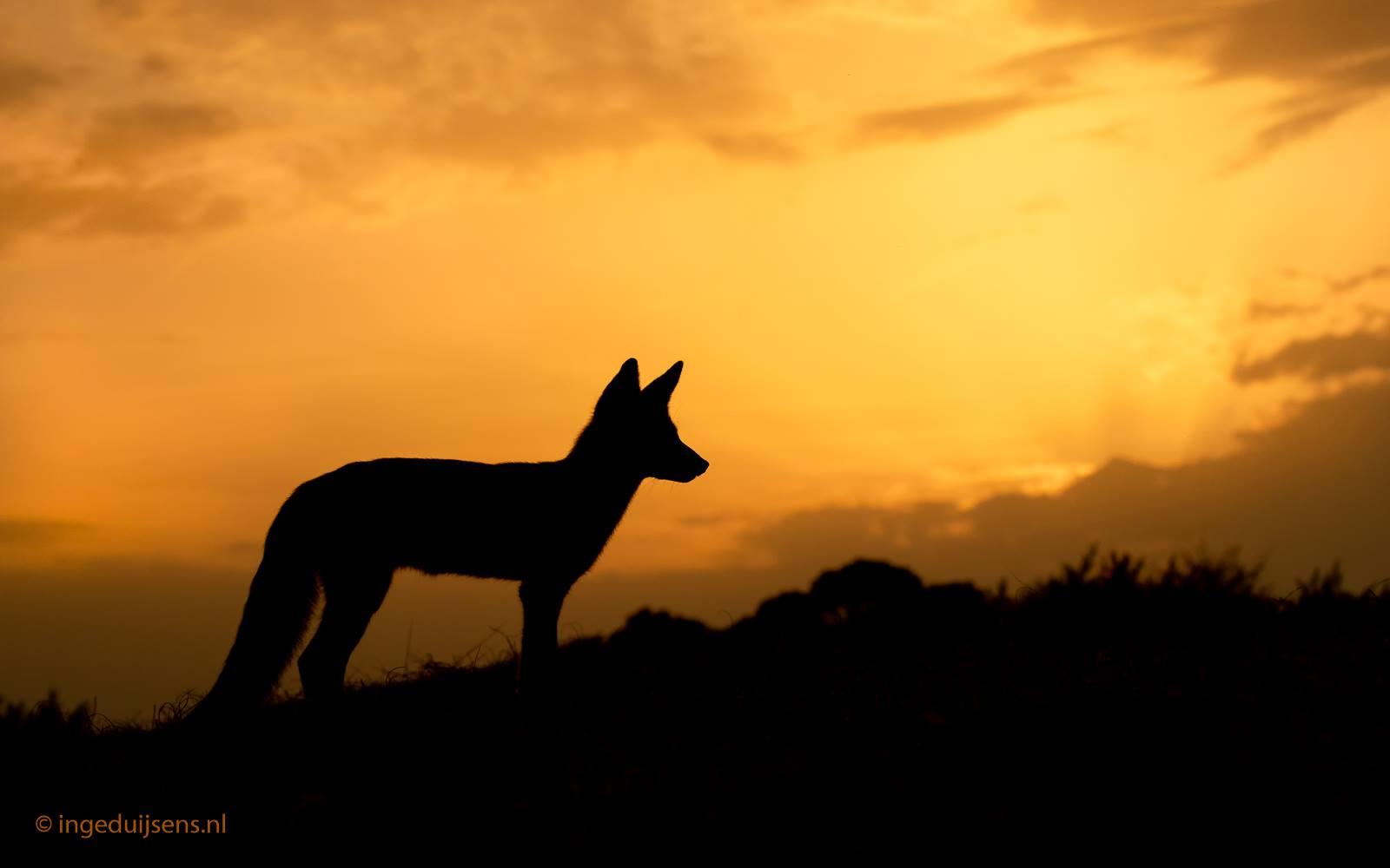 Vos bij zonsondergang